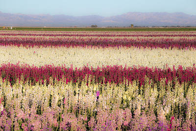 Photograph - Calipatria Flower Fields by Peter Tellone