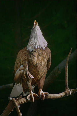 Photograph - Call Of The Eagle by Nikolyn McDonald