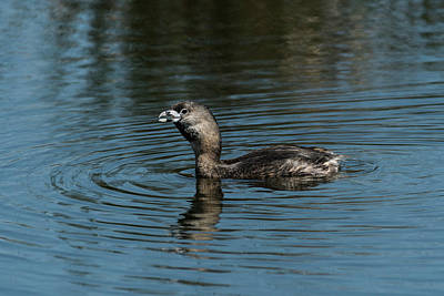 Photograph - Call Of The Grebe by Robert Potts