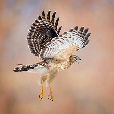 Red Shouldered Hawk Photograph - Call Of The Wild Square by Bill Wakeley