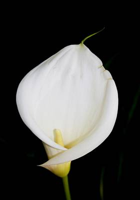 Photograph - Calla Isolated by Tracey Harrington-Simpson