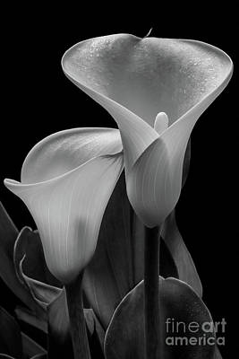 Photograph - Calla Lilies #4895 by David Perry Lawrence