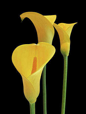 Calla Lilies - Yellow On Black Art Print