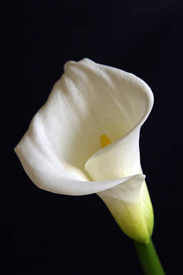Photograph - Calla Lilly 7 by Gary Brandes