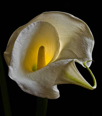 New Years - Calla Lily - Backlit by Robert Ullmann