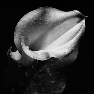 Calla Lily 1 Print by Aldo Cervato
