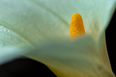 Photograph - Calla Lily 1 by Jonathan Nguyen