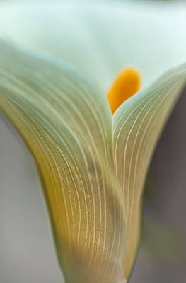 Photograph - Calla Lily 2 by Jonathan Nguyen
