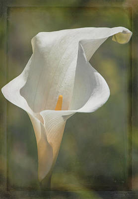 Photograph - Calla Lily - Artistic by Teresa Wilson