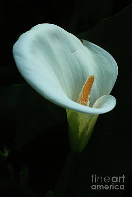 Photograph - Calla Lily by Christiane Schulze Art And Photography