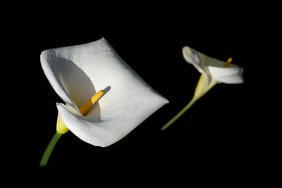 Photograph - Calla Lily by Jon Exley