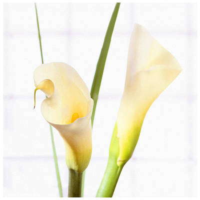 Lilies Royalty-Free and Rights-Managed Images - Calla Lily by Mike McGlothlen
