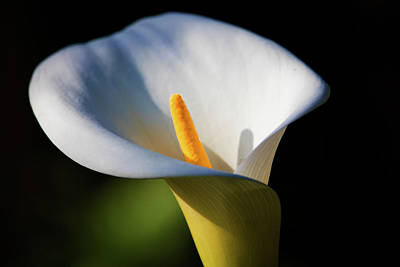 Photograph - Calla Lily by Naomi Burgess