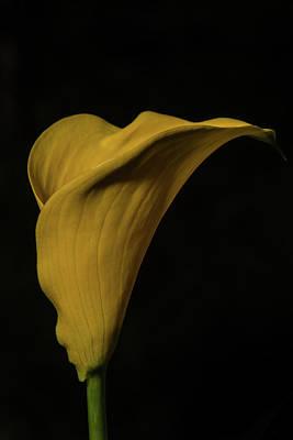 Calla Lily Art Print by Paul Freidlund