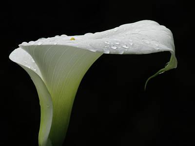 Photograph - Calla Lily Raindrops by John Topman
