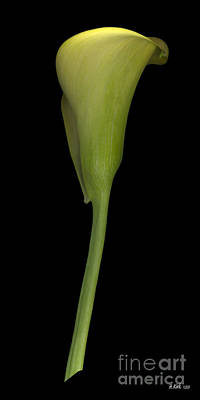 Photograph - Calla Lily Stem Straight by Heather Kirk