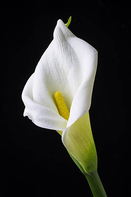 Calla Still Life Art Print by Garry Gay