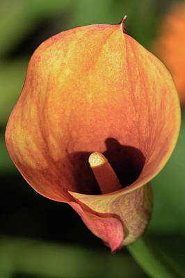 Photograph - Calla Sunbathing. by Terence Davis