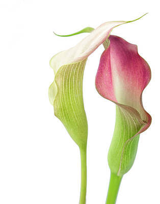 Photograph - Callas In Love by Nancy Kirkpatrick