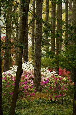 Callaway Gardens Spring Azaleas Art Print by Kathy Clark