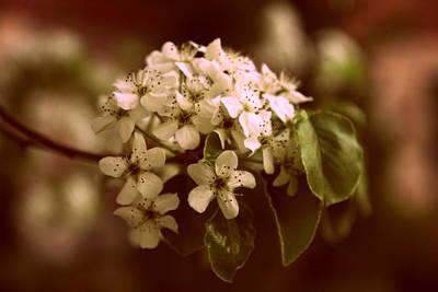 Pear Tree Photograph - Callery Pear Blossoms by Jessica Jenney