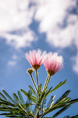 Photograph - Calliandra Flowers by Lana Enderle