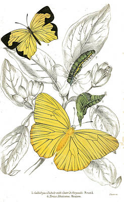 Butterflies Painting - Callidryas Eubule And Terias Mexicana Butterflies by Celestial Images