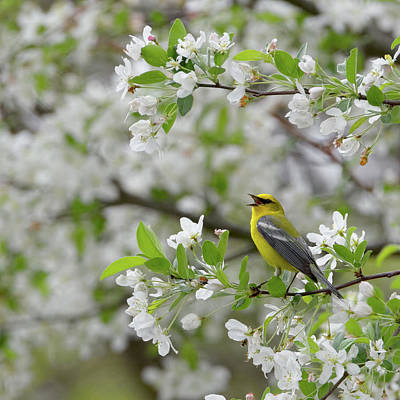 Warbler Photograph - Calling Blue Winged Warbler 2017a Square by Bill Wakeley