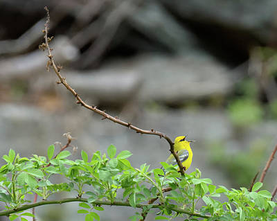 Warbler Photograph - Calling Blue Winged Warbler 2017b by Bill Wakeley