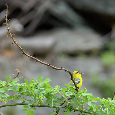 Photograph - Calling Blue Winged Warbler 2017b Square by Bill Wakeley
