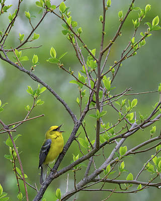 Photograph - Calling Blue Winged Warbler by Bill Wakeley