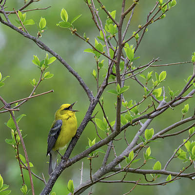 Warbler Photograph - Calling Blue Winged Warbler Square by Bill Wakeley