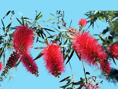 Photograph - Callistemon - Bottle Brush T-shirt 3 by Isam Awad