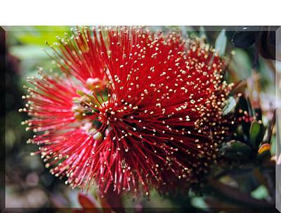 Photograph - Callistemon - Bottle Brush T-shirt 5 by Isam Awad