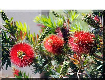 Photograph - Callistemon - Bottle Brush T-shirt 6 by Isam Awad