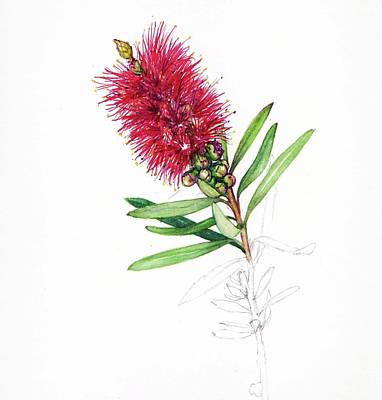Drawing - Callistemon Christmas by Heidi Kriel