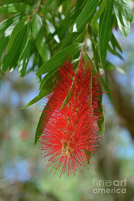 Photograph - Callistemon Flower by Olga Hamilton