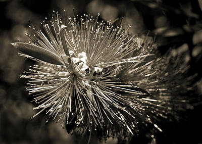 Photograph - Callistemon II by Steven Sparks