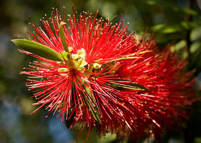 Photograph - Callistemon by Steven Sparks