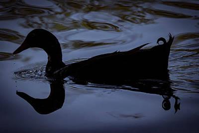 Photograph - Calm Blue Duck by Ray Congrove