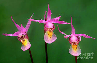Photograph - Calypso Orchids Calypso Bulbosa Wild Wyoming by Dave Welling