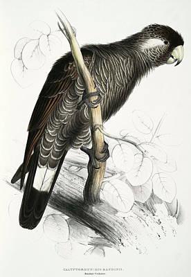 Parakeet Mixed Media - Calyptorhynchus Baudinii- Baudins Cockatoo by Edward Lear