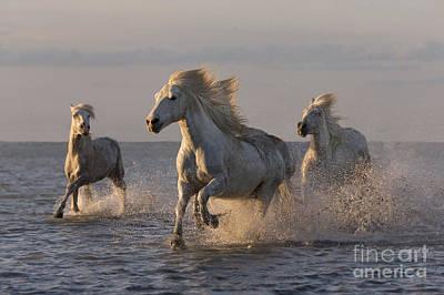 Camargue Horses Run At Sunset Art Print by Carol Walker