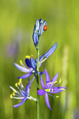 Photograph - Camas Ladybug by Mark Kiver
