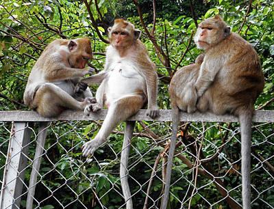 Photograph - Cambodia Monkeys 7 by Ron Kandt