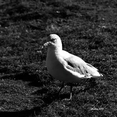 Photograph - Camden Maine Gull by Dick Botkin