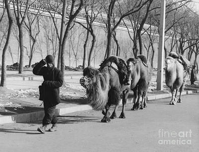 Camel Caravan, China 1957 Art Print by The Harrington Collection