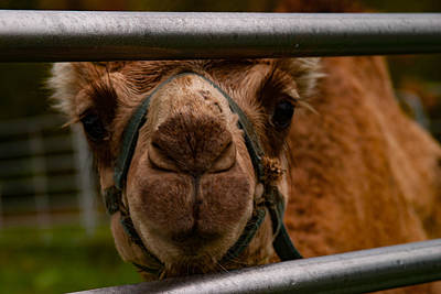 Photograph - Camel Curious Two by Jeff Folger