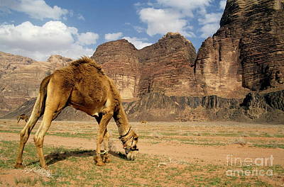 Camel Photograph - Camel Grazing In A Desert Landscape by Sami Sarkis