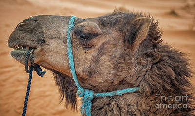 Photograph - Camel Head by Patricia Hofmeester